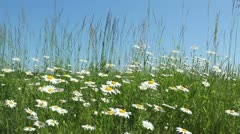 Marguerites Stock Footage