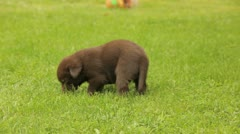 8 week old labrador puppy Stock Footage