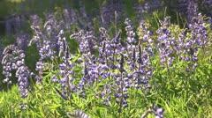 Lupine flowers in meadow 02 by dwking Stock Footage