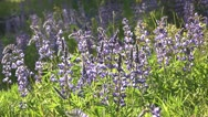 Stock Video Footage of Lupine flowers in meadow 02 by dwking