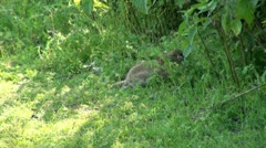 Wild Rabbit Foraging for Food Stock Footage