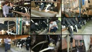 Dairy Farm multiscreen Stock Footage