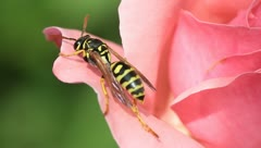 Yellow jacket wasp on pink rose Stock Footage