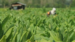 Tobacco farm. Stock Footage