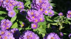 Aster and bees Stock Footage