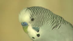 Parrot Tigress Stock Footage