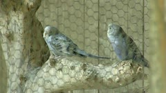 Parrots Tigress Stock Footage