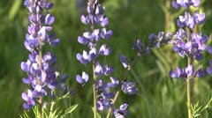 Tilt up to lupine flowers 02 by dwking Stock Footage