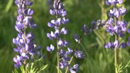 Stock Video Footage of Tilt up to lupine flowers 02 by dwking