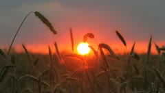 The wheat ears and sunset (sunrise) background Stock Footage