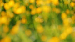 Yellow buttercups and grass Stock Footage