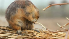 Prairie Dog Gnaws Branch Stock Footage