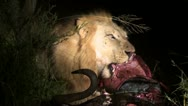 Lion eating at night Stock Footage