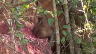 Lion eating a giraffe carcass. Stock Footage