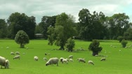 Stock Video Footage of sheep in field