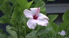 Easter Island rain white hibiscus and pink tendril 2a Stock Footage