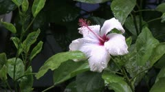Easter Island raindrops on fluttering white hibiscus 3 Stock Footage