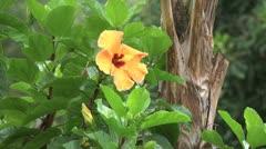 Easter Island yellow hibiscus in rain 6 Stock Footage