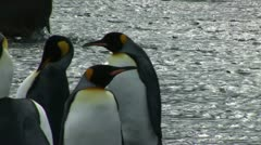 South Georgia: king penguins and seals 1 Stock Footage