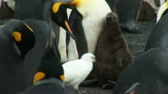 South Georgia: king penguin baby 2 Stock Footage