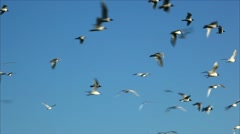 flock of birds 6 - stock footage