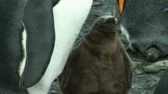 South Georgia: king penguin baby 1 Stock Footage