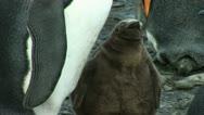 South Georgia: king penguin baby 1 Stock Footage