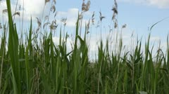 Dry Reed Stock Footage