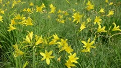 Field with yellow lillies Stock Footage