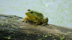 Frog on a log. Stock Footage