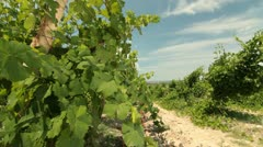 DOLLY: Unripe Grapes Stock Footage