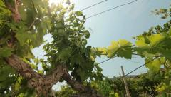Sunny Vineyard Stock Footage