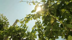 Green Unripe Grapes Stock Footage