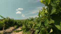 DOLLY:  Vineyard Stock Footage