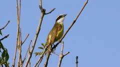 Kiskadee Flycatcher Bird and Sound (HD) - stock footage