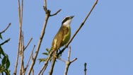 Stock Video Footage of Kiskadee Flycatcher Bird and Sound (HD)
