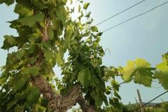 Sunny Vineyard Stock Footage