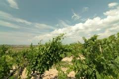 DOLLY: Summer Vineyard Stock Footage