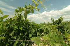 DOLLY: Green Bunches of Grapes Stock Footage