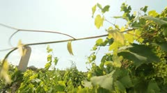 DOLLY: Green Grapes Stock Footage
