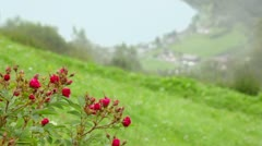 Coastal village on fjord shore at bottom of hill with rosebush - stock footage