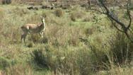 Stock Video Footage of Brazil: Amazon river region fauna - antelopes 1