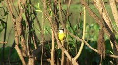 Brazil: Amazon river region birds 5 Stock Footage