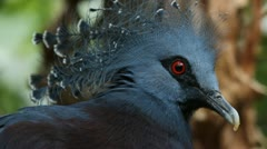 Victoria crowned pigeon. Closeup. Stock Footage