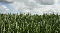 Wheat spikes. Stock Footage