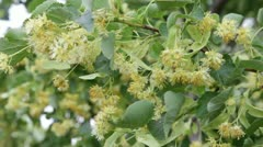 linden flowering4 - stock footage