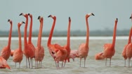 Stock Video Footage of pink flamingo wild life mexico birds