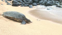 Giant Sea Turtle enters ocean Kauai Hawaii Stock Footage