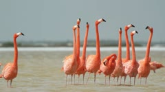 Pink flamingo wild life mexico birds Stock Footage