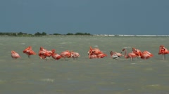 Pink flamingo wild life mexico birds Stock Footage